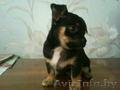 Чихуа-хуа продам щенков
