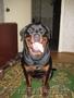 продам щенка ротвейлера