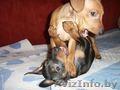 щенок карликового пинчера