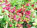 Продажа саженцев и подвоев плодовых культур