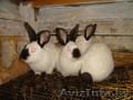 Кролики  самцы-производители,  калифорнийцы