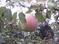 Распродажа саженцов плодово-ягодных из частного питомника - Изображение #2, Объявление #1396243