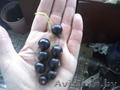 Распродажа саженцов плодово-ягодных из частного питомника - Изображение #3, Объявление #1396243
